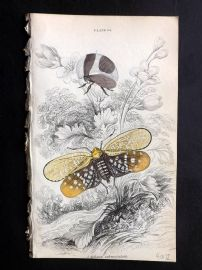 Jardine C1840 Hand Col Insect Print. Aphana Submaculata